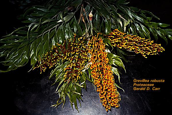 Ebony tree in hindi